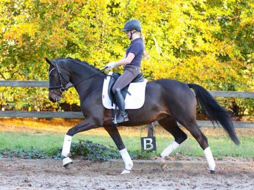 von Bordeaux #Stute, *2015, 1,63m# #26.000€ #Reitpferde erfolgreich