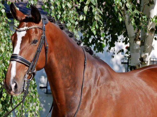 #Wallach, *2010, 1,72m #St. Georg inter. gewonnen, Inter. I erfolgreich