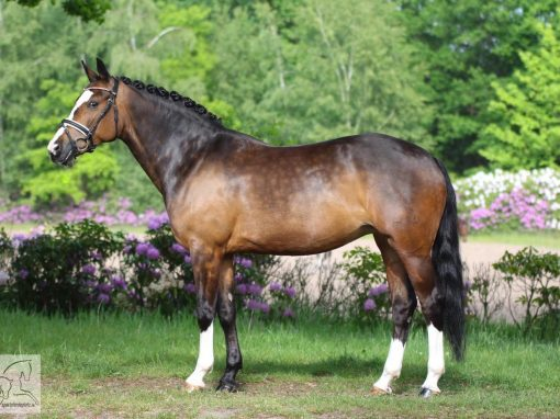 Von Dornick Boy #Stute, *2009, 1,49m # L-Dressur; A-Springen# Preis: 20.000€